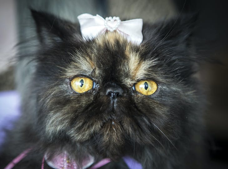 A Persian cat looks on during a local cat exhibition in Almaty April 26, 2014. REUTERS/Shamil Zhumatov (KAZAKHSTAN - Tags: ANIMALS SOCIETY) - RTR3MPCI
