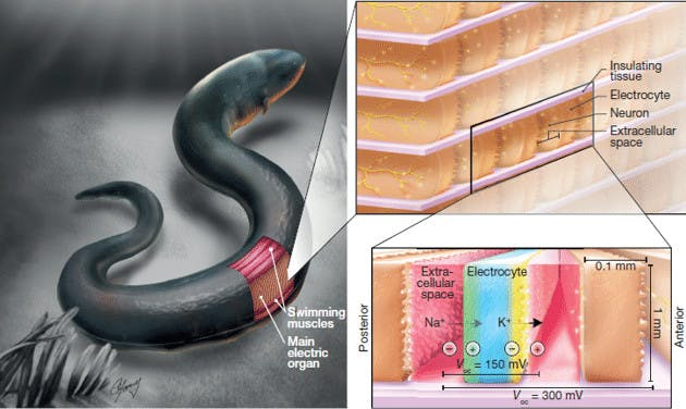 Photo credit: 《An electric-eel-inspired soft power source from stacked hydrogels》