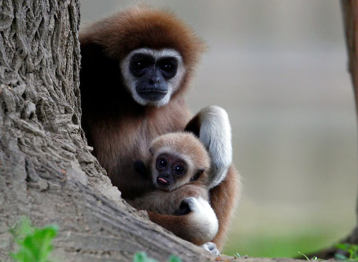 A_first_white-handed_gibbon_infant_born_